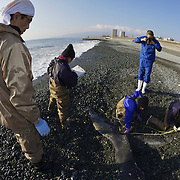 Researchers measuring fluke of humpback whale calf (Megaptera novaeangliae) that washed ashore on 3 January 2012 in Odawara, Japan. Measured 6.87 meters long and was male. Cause of death unknown. This humpback whale calf is the third smallest one recorded to date that has stranded or washed ashore in Japan. It is the third deceased calf to have been found in the 2011-2012 breeding and calving season. Members of the science community recording measurements for Japan's cetacean stranding database.