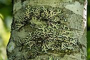Lichen on tree trunk. Skunk Cabbage Trail, Revelstoke National Park, British Columbia, Canada.