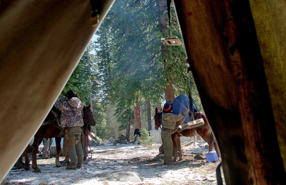 Packing up the mules in base camp during a guided big game hunt in the Colorado Rocky Mountain wilderness