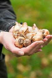 Handful of daffodil bulbs ready to plant