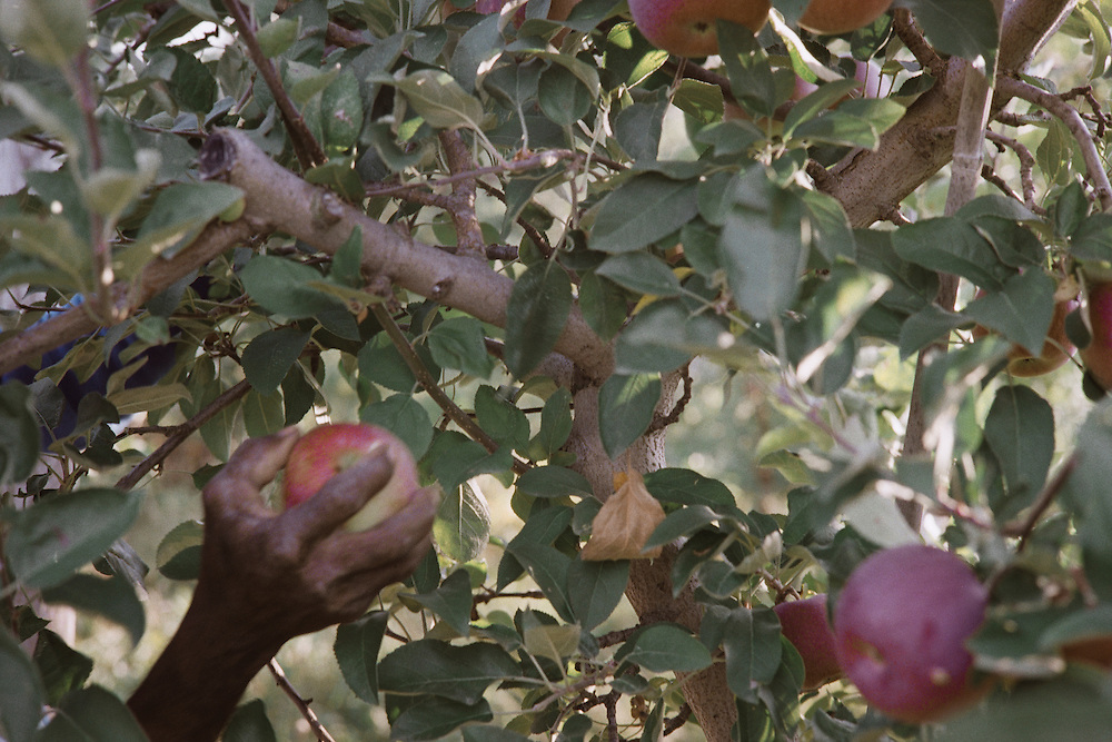 Apples are not yanked off the tree, but gently grabbed and twisted off. This prevents damage to the apple which would result in the apple deing downgraded from a fancy table apple to a cider apple, which brings a much lower price.