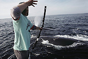 "(1992) Chris Slay darting right whales 40 miles south of Cape Sable Island from the 38-foot boat, ""Lucky 7"".  A bow and arrow are used to  ""dart"", take skin samples from, right whales for population management study through DNA analysis. Some blubber samples are taken with hollow-tipped arrows. Nova Scotia, Canada. DNA Fingerprinting. MODEL RELEASED."