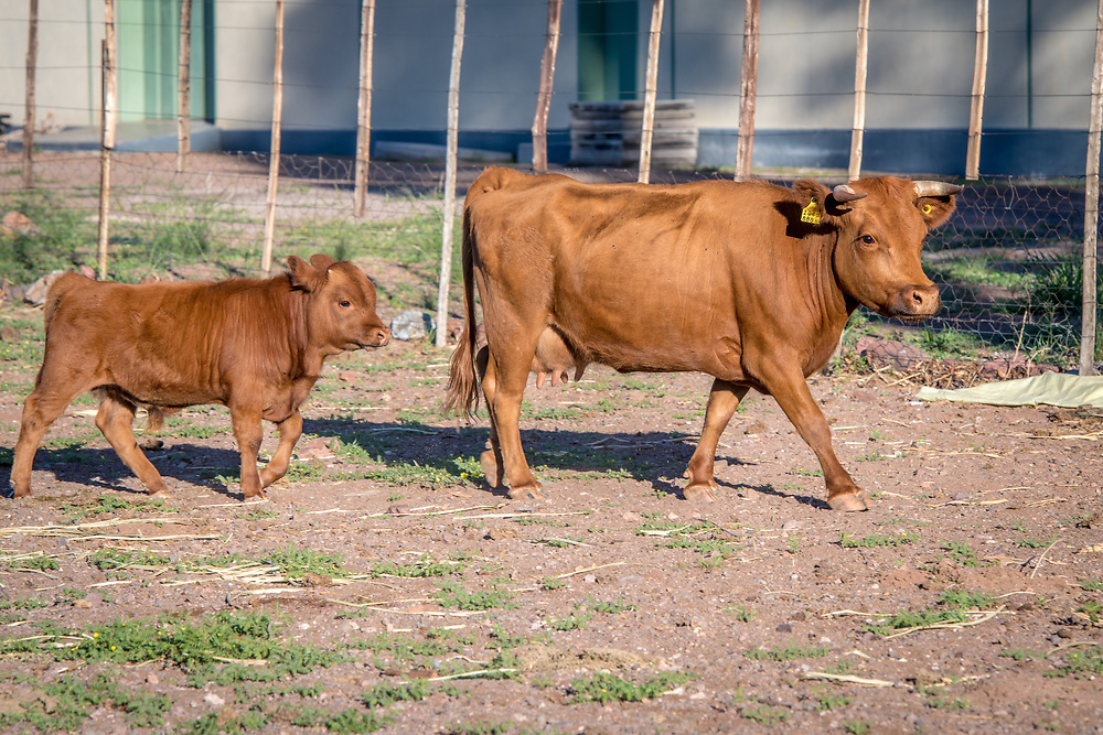 Steer leading a young calf on Dabis Guest Farm in Helmeringhausen, southern Namibia, Africa.