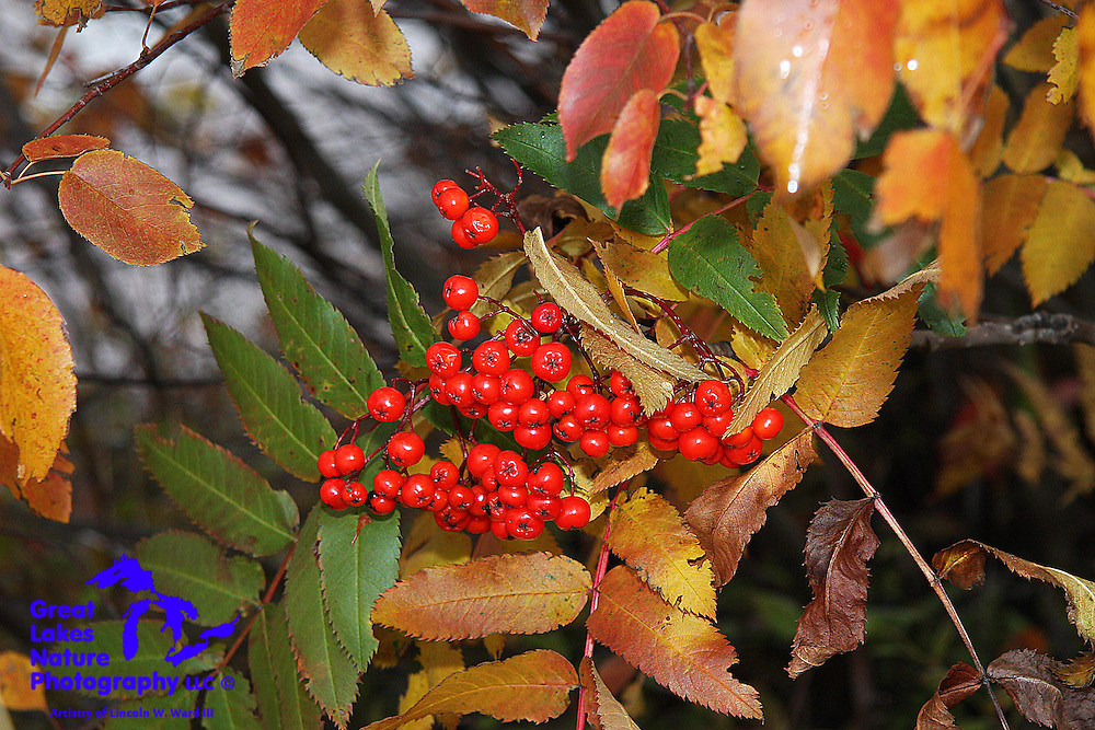 Along Lac La Belle's autumn shoreline, beautiful red berries stand out in contrast to a background of colorful shoreline foliage.