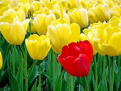 A lone red tulip in a field of yellow tulips on Wisconsin State Capitol grounds.