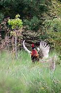 Rooster Pheasant During Spring Breeding Season