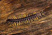 Tractor millipede, family Platyrhacidae (possibly juvenile Barydesmus sp.) photographed in Deramakot Forest Reserve, Sabah, Borneo.