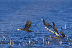 double-crested cormorant; Phalacrocorax auritus; bosque new mexico; flight