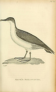 Manx shearwater (Puffinus puffinus) (in the past Mank's Shearwater) from the 1825 volume (Aves) of 'General Zoology or Systematic Natural History' by British naturalist George Shaw (1751-1813). Shaw wrote the text (in English and Latin). He was a medical doctor, a Fellow of the Royal Society, co-founder of the Linnean Society and a zoologist at the British Museum. Engraved by Mrs. Griffith