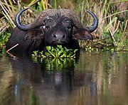 African buffalo (Syncerus caffer) feeding among papyrus in Lake Naivasha, Kenya.