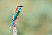 Blue-throated bee-eater (Merops viridis) from Danum Valley, Sabah, Borneo.