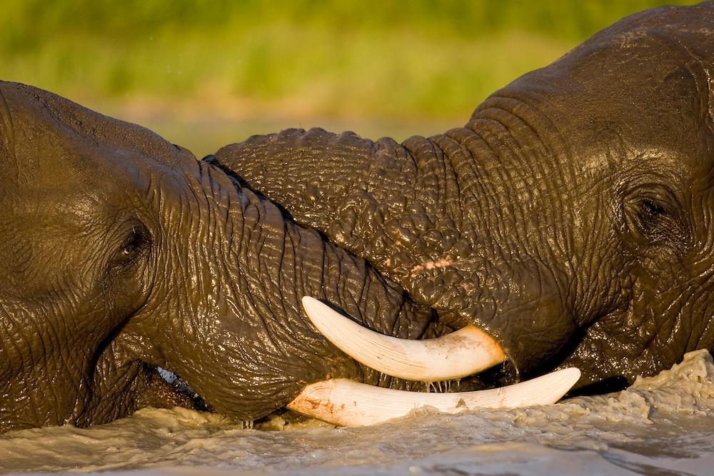 Africa, Botswana, Chobe National Park, Bull Elephants (Loxodonta africana) fighting in pool at Savuti Marsh during rainy season