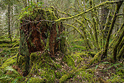 A nearly 100 year old tree stump in the Tillamook State Forest, Oregon. The area was extensively burned in a series of forest fires starting in 1933 which are now called the Tillamook Burn. The forest was replanted from 1949 to 1973 in the largest reforestation project of its kind.