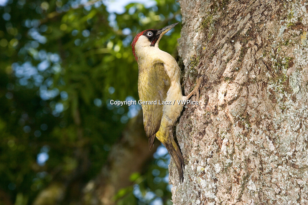 Green Woodpecker, picus viridis, Adult standing on Tree Trunk, Normandy