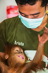 A critically endangered Sumatran orangutan infant (Pongo abelii) that was rescued from illegal pet traders after his mother was killed, is now safe and is playfully being naughty with his keeper at the Sumatran Orangutan Conservation Program's Care Center in Medan, where he needs to live until he is old enough to be released safely back into the wild, Medan, Sumatra, Indonesia