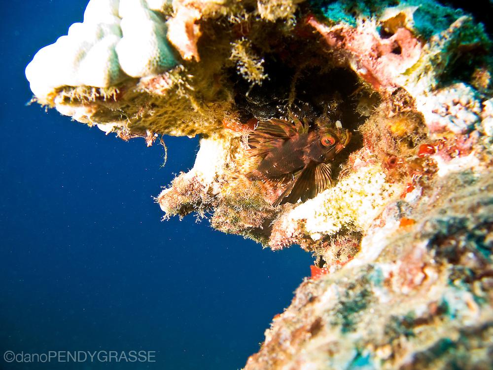 A green lionfish (Dendrochirus barberi) with it's distinctive orange eye, hides away in the reef near Maui, Hawaii, USA.