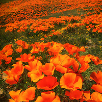 Hillside covered with orange California poppies, Antelope Valley, California.