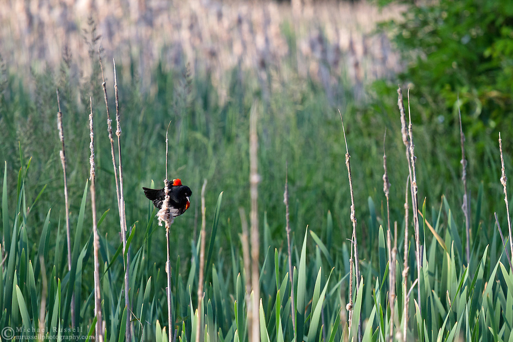 Male Red-winged Blackbird (Agelalus phoeniceus) flying from cattail to cattail at Elgin Heritage Park in Surrey, British Columbia, Canada