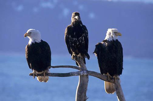Bald Eagle, (Haliaeetus leucocephalus) Adults on tree branch with immature. Alaska.