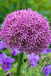 Allium 'Globemaster' growing through Geranium 'Brookside' at Glen Chantry, Essex
