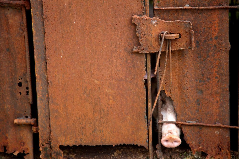 Penned pig in Tacajo, Holguin, Cuba.