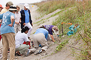 "Volunteer members of the ""turtle patrol"" rescue loggerhead turtle hatchlings from a nest along the dunes of Isle of Palms,  SC."
