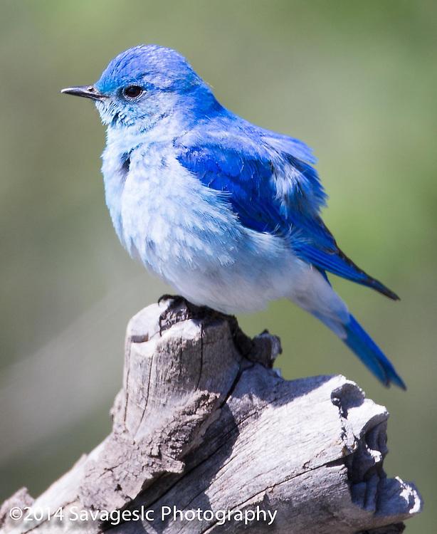 Mountain bluebird. Yellowstone National Park