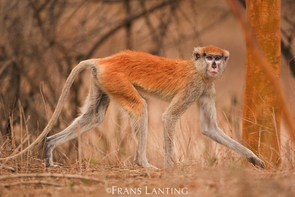 Patas monkey, Erythrocebus pata, Bandia Reserve, Senegal
