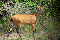 Marsh Deer (Blastocerus dichotomus ) - female -  listed as  a vulnerable species.Largest deer of South America., The Pantanal, Mato Grosso, Brazil Photo by: Peter Llewellyn