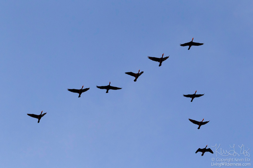 A flock of double-crested cormorants (Phalacrocorax auritus) flies in formation over the Snohomish River near Kenmore, Washington. Flocks of double-crested cormorants typically fly in a line or a V formation, similar to geese. The double-crested cormorant is one of only two types of cormorants that are found on or near fresh water.