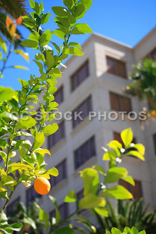 Orange Tree in Downtown Anaheim
