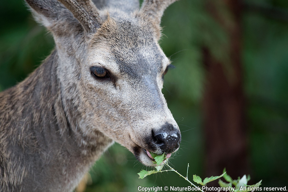 A mule deer at Yosemite National Park munches on plant leaves in late afternoon.