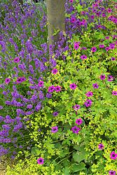 Geranium 'Patricia' AGM with Alchemilla mollis and lavender