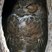 A Great Horned Owl, Bubo virginianus, sleeping in its tree hollow. Turtleback Zoo, West Orange, New Jersey, USA
