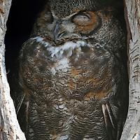 A Great Horned Owl, Bubo virginianus, sleeping in its tree hollow. Turtleback Zoo, West Orange, New Jersey, USA