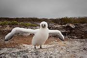 A nazca booby (Sula grunti) chick on Genovesa Island, Galapagos Archipelago - Ecuador.