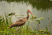 An American white ibis in Everglades National Park, Florida.