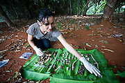 Parauapebas_PA, Brasil...Floresta Nacional de Carajas em Paraupebas, Para. Na foto o  Programa de Conservacao do Gaviao Real  (Harpia harpyja)...The Carajas National Forest in Paraupebas, Para. In this photo the conservation program of Harpy (Harpia harpyja)...Foto: JOAO MARCOS ROSA / NITRO