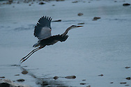 This great blue heron is taking off from the waters of the Chemung River.