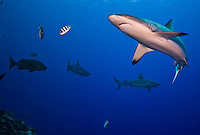 Reef sharks in Micronesia