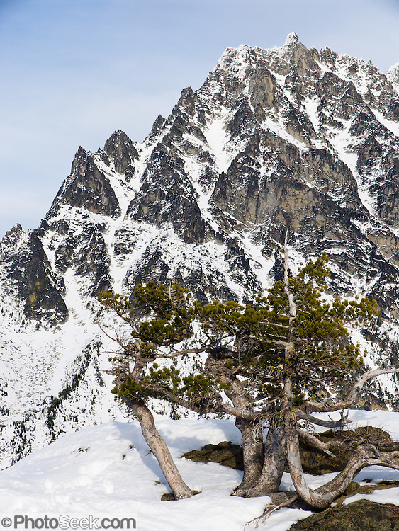 The prominent peak of Mount Stuart (9415 feet / 2870 meters) rises beyond twisted trees on snowy Ingalls Pass in early November. It is the second highest non-volcanic peak in Washington state and tenth-highest overall. It is located in the central part of the Washington Cascades, south of Stevens Pass and east of Snoqualmie Pass in Alpine Lakes Wilderness, USA.