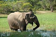 Sri Lanka. Elephant feeding at waterhole. Yala National Park.