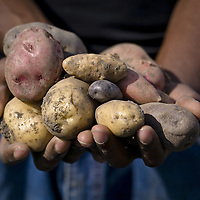 Stock photo of heirloom potatoes and the gardener who grew them, standing in the potato field..