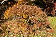 Japanese maple tree in autumn colour, Acer Palmatum, National arboretum, Westonbirt arboretum, Gloucestershire, England, UK 'Dissectum'