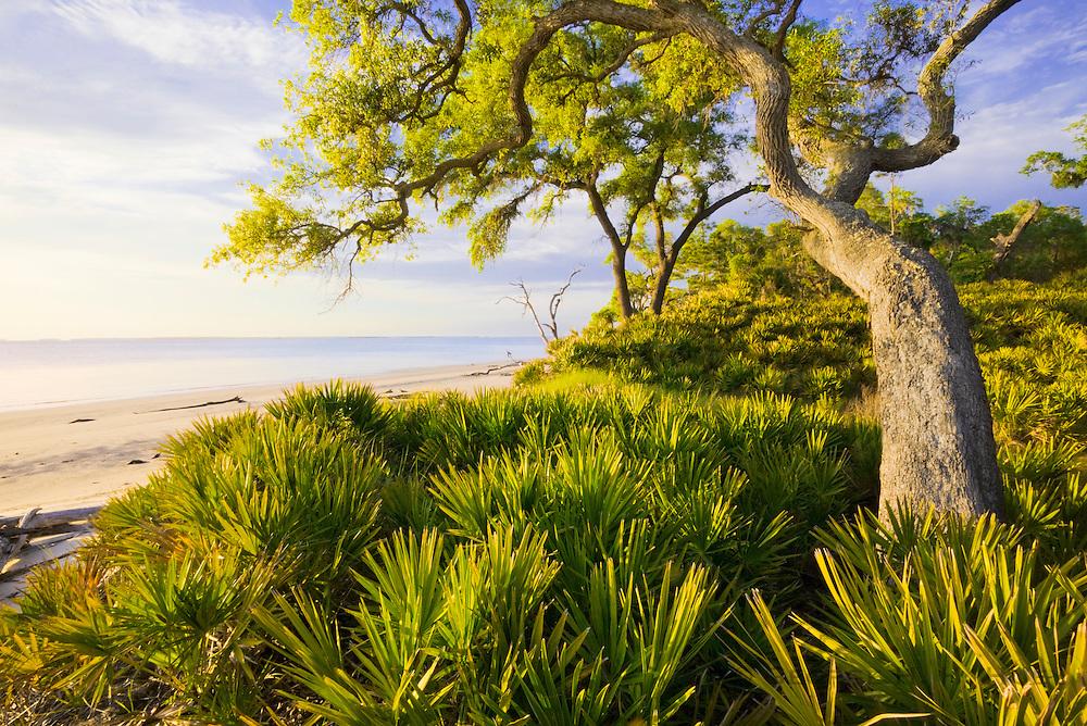 1300-1004 ~ Copyright: George H.H. Huey ~ Saw palmetto [Serenoa repens] or [Sabal serrulatum] and Sand live oak,  [Quercus germinata] along St. Catherine's Sound.  St. Catherine's Island, Georgia.
