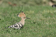 Hoopoe Upupa epops L 25-28cm. Distinctive, with long, downcurved bill. Habit of creeping along ground often makes it hard to spot. In flight, however, unmistakable thanks to bold black-and-white bird pattern and butterfly-like flight. Sexes are similar. Adult and juvenile are mainly pale pinkish brown with black and white barring on wings and back; white rump is seen in flight. Erectile crest of barred, pink feathers is raised in excitement. Voice Utters diagnostic hoo-poo-poo call. Status Has bred here, but best known as scarce visitor in spring and autumn.