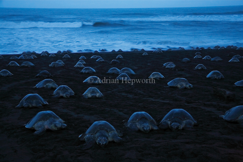 Arribada of Olive Ridley Turtles (Lepidochelys olivacea) at dawn.  Females come ashore to lay eggs. Playa Ostional, Guanacaste, Costa Rica.<br /> <br /> <br /> For pricing click on ADD TO CART (above). We accept payments via PayPal.
