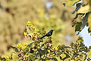 Palestine Sunbird or Northern Orange-tufted Sunbird (Cinnyris oseus) is a small passerine bird of the sunbird family which is found in parts of the Middle East and sub-Saharan Africa. photographed in Israel in March