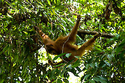 One of orang utan named Caroline already freely in the forest around Bukit Tiga Puluh National Park after she get reintroduction program in sungai pengian center of reintroduction for orang utan run by Frankfurt Zoological Society(FZS)