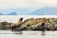 Steller Sea Lions (Eumetopias jubatus) hauled out on an island in the Dutch Group in Prince William Sound in Southcentral Alaska. Summer. Afternoon.